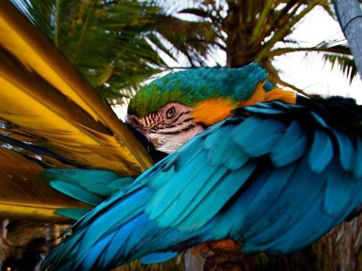 Isla de Margarita Macaw