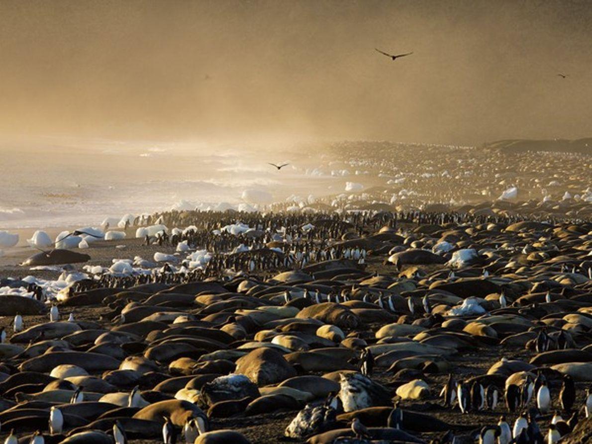 Elefantes marinos y pingüinos rey