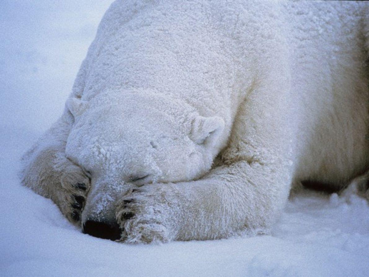 Un oso polar dormido parece adorable, ¡pero ten cuidado! Sin enemigos naturales, los osos polares ocupan …