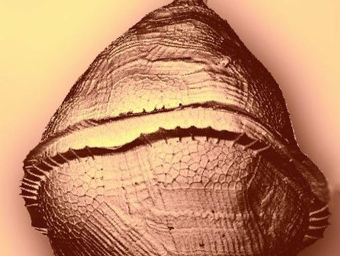 Protoperidinium Pellucidum