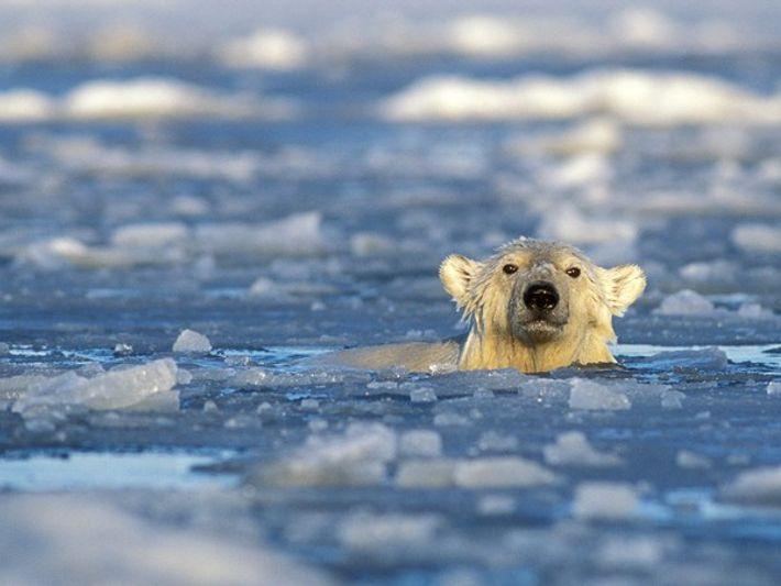 Un oso polar bate el récord nadando 687 kilómetros seguidos