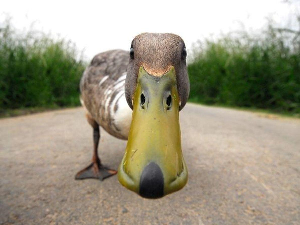 Pato curioso