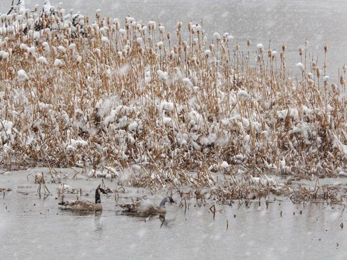 Gansos de Canadá en una tormenta de nieve, Alamosa, Colorado.