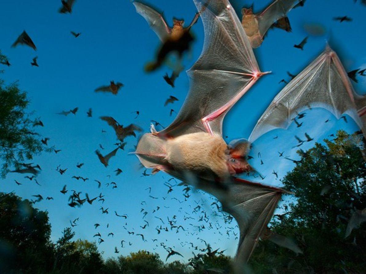 Murciélagos mexicanos de cola libre, Texas