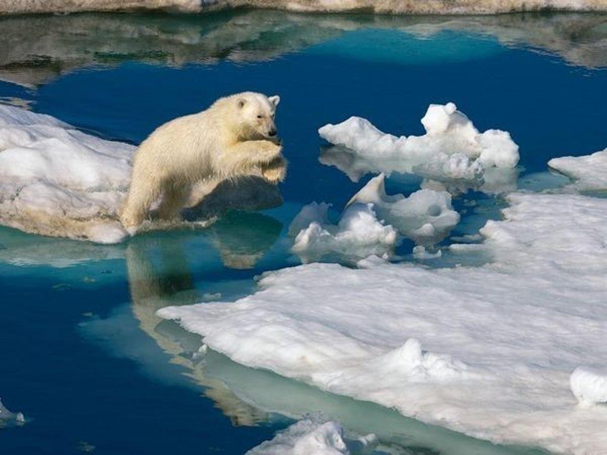 Oso Polar, Svalbard