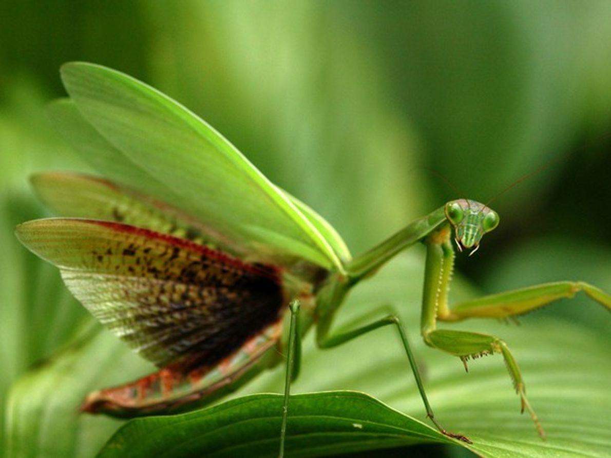 Mantis religiosa, Virginia