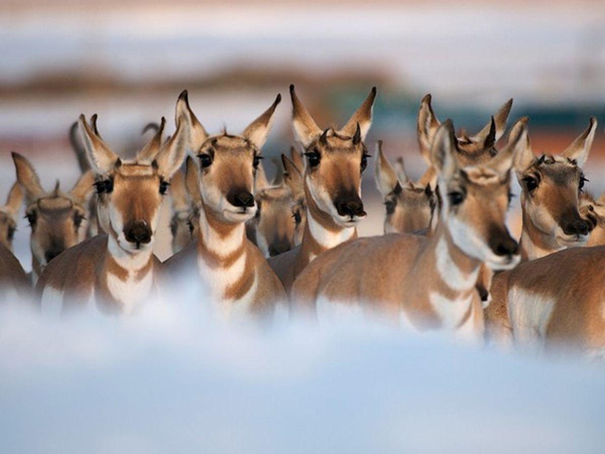 Antílope americano, Wyoming