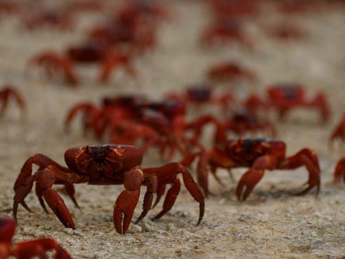 Cangrejos rojos,  Isla de Navidad