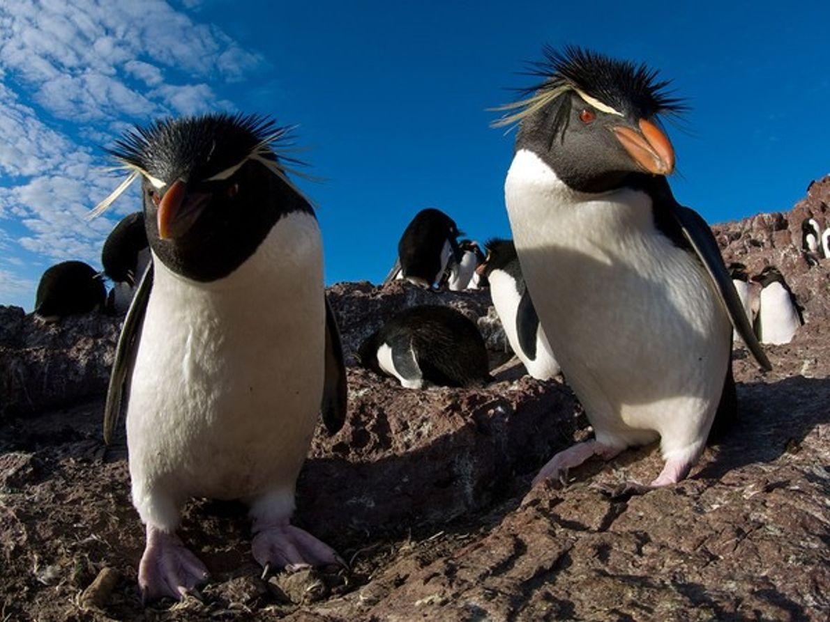 Pingüinos de penacho amarillo, Argentina