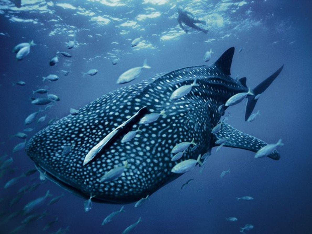 Tiburón Ballena, Australia