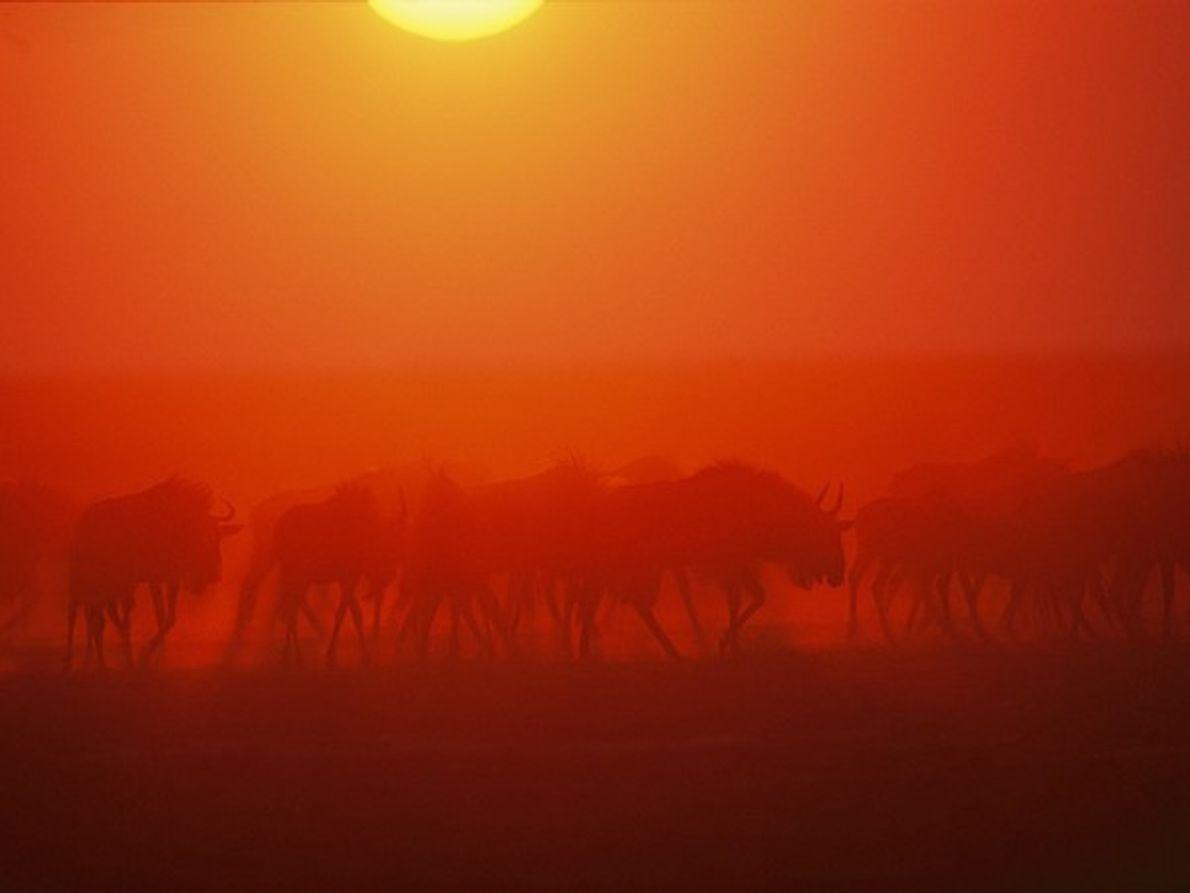 Ñus, Zambia