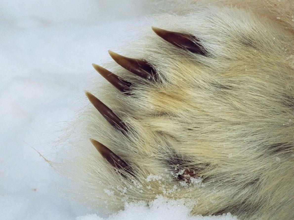 Primer plano de las zarpas de un oso polar