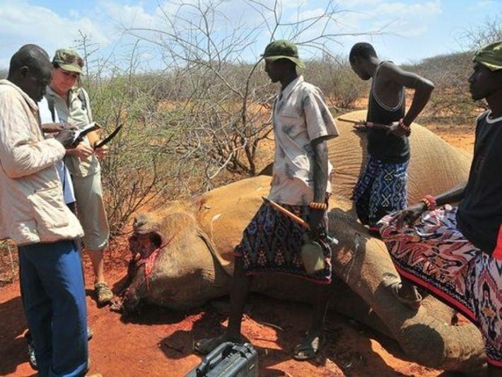 Caza furtiva de elefantes