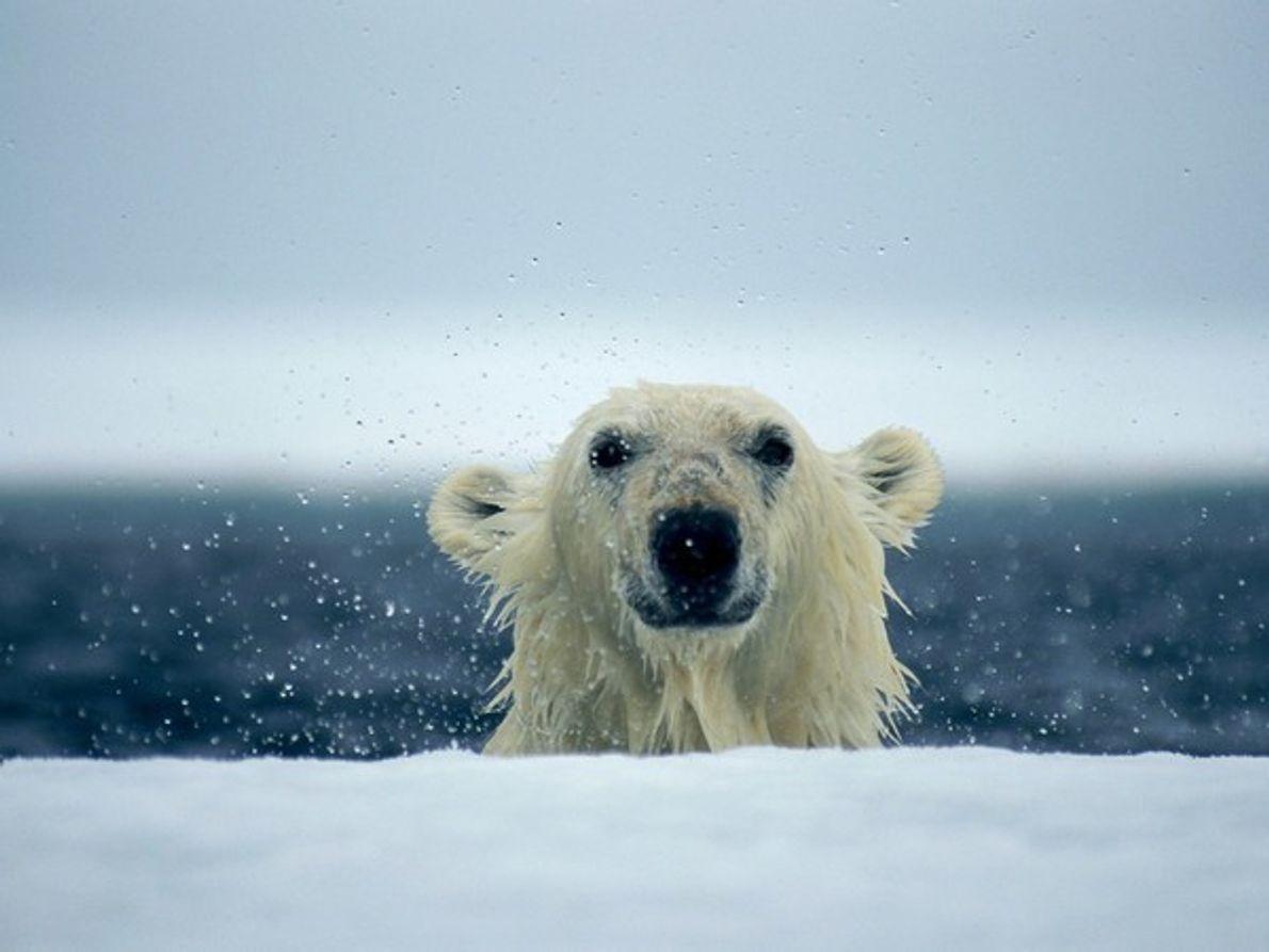 Los osos polares son excelentes nadadores gracias a sus zarpas ligeramente palmeadas y a su poderosa …