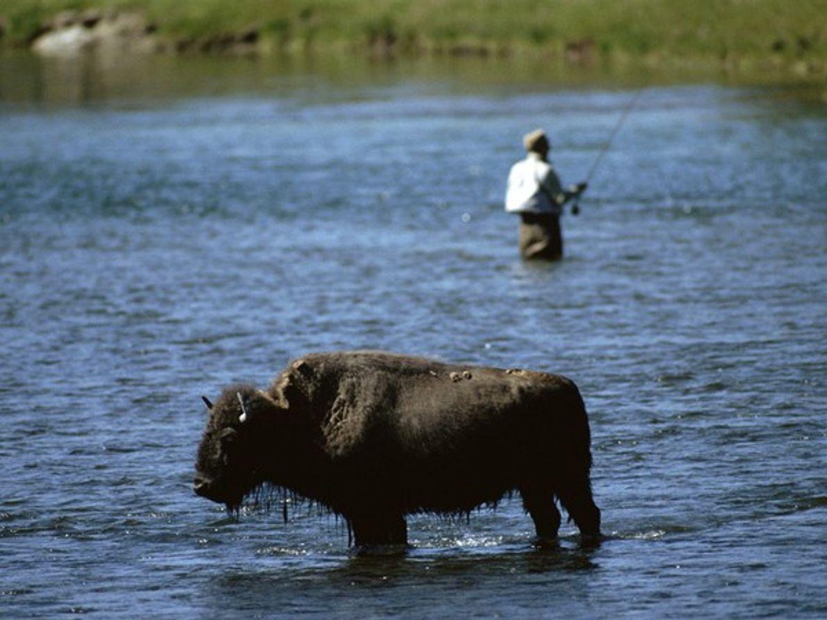 Pescador y búfalo en aguas del Yellowstone