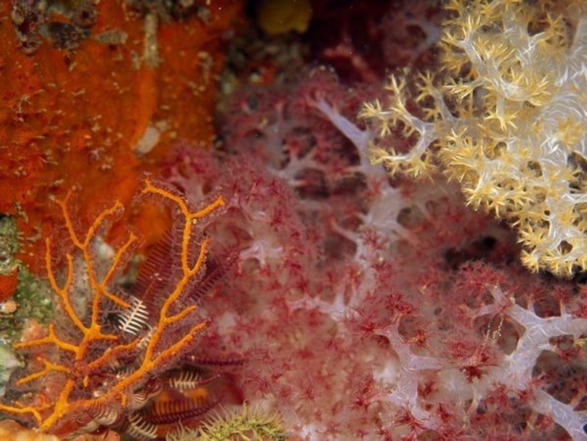 Corales blandos, Papúa Nueva Guinea
