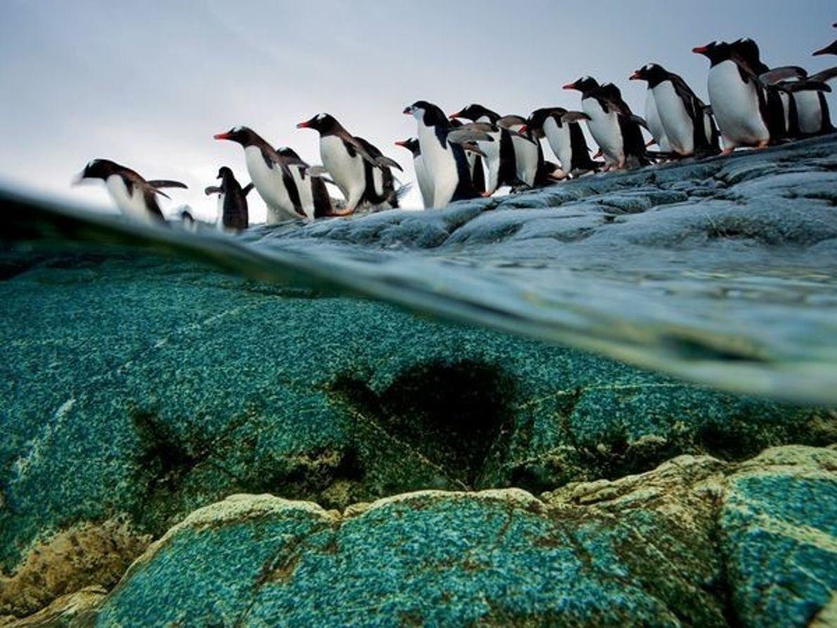 Pingüinos papúa, isla Anvers
