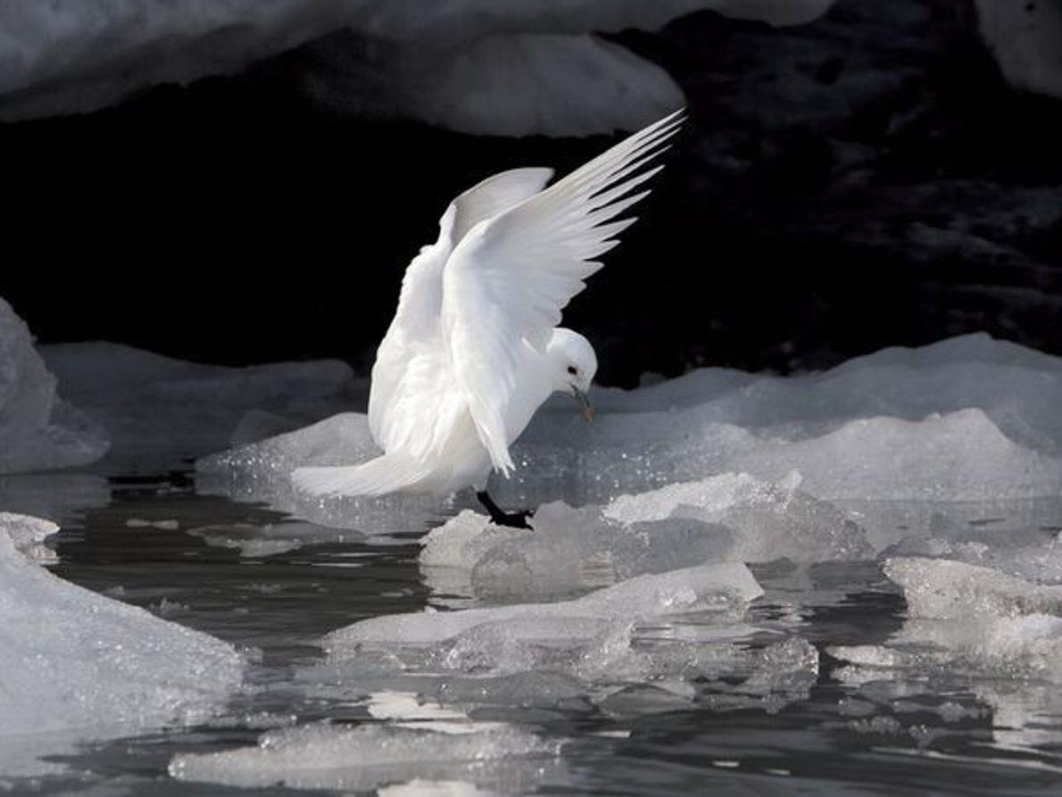 Gaviota blanca, Hornsund