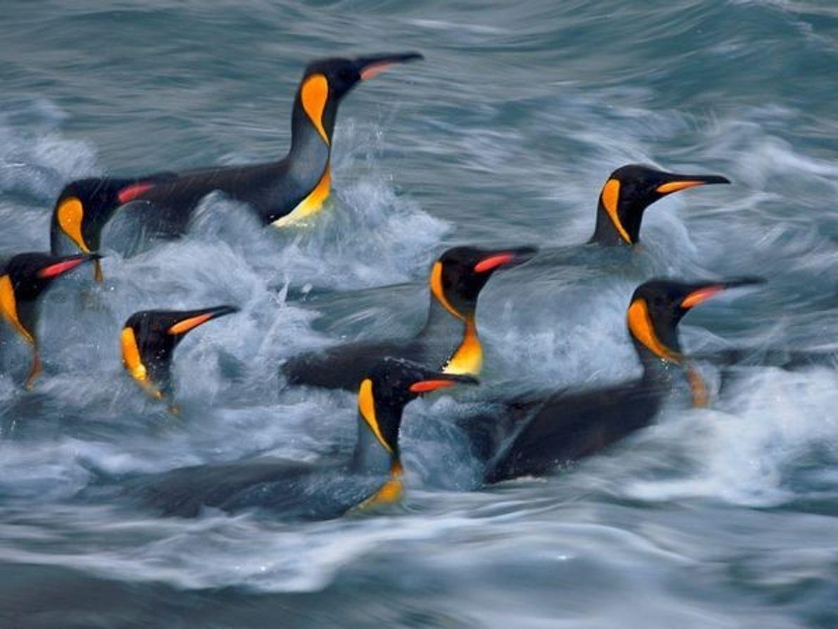 Pingüinos rey, Puerto de Oro