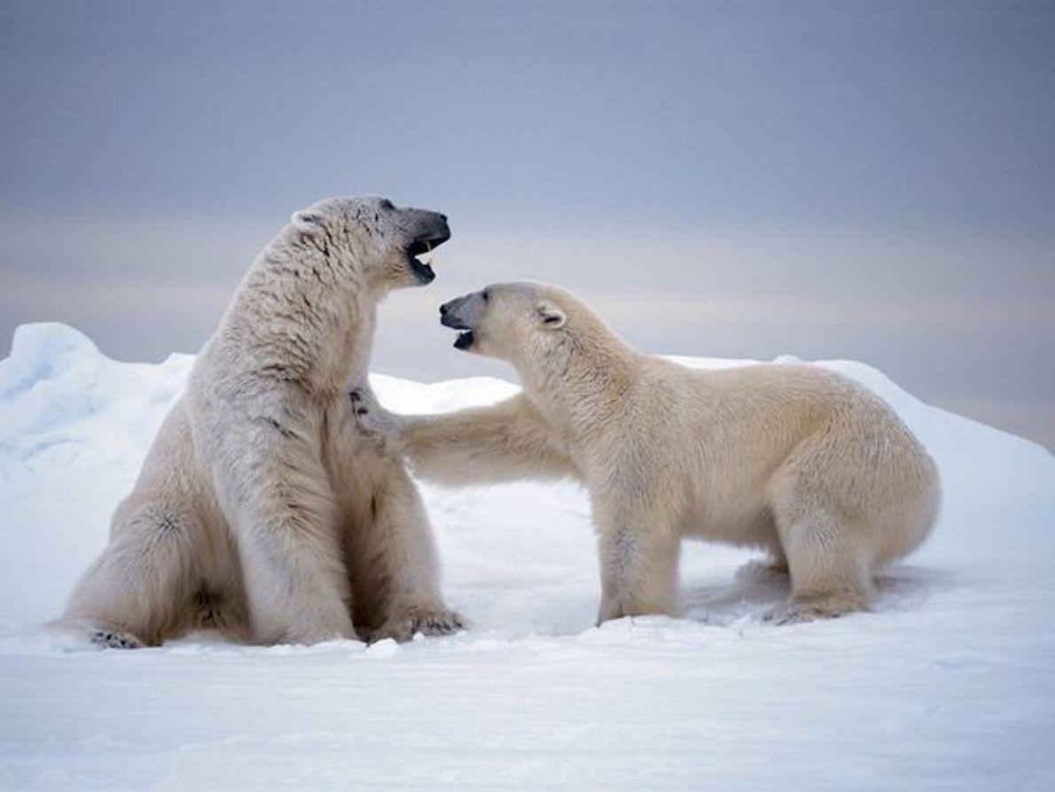 Osos polares, Svalbard