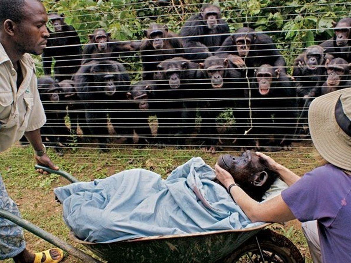 Muerte de un chimpancé