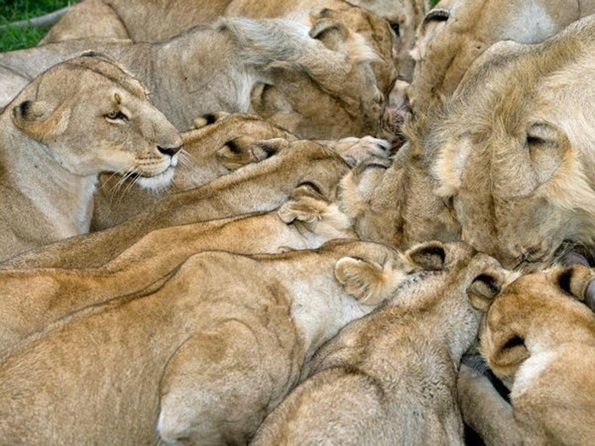 Leones, Kenia