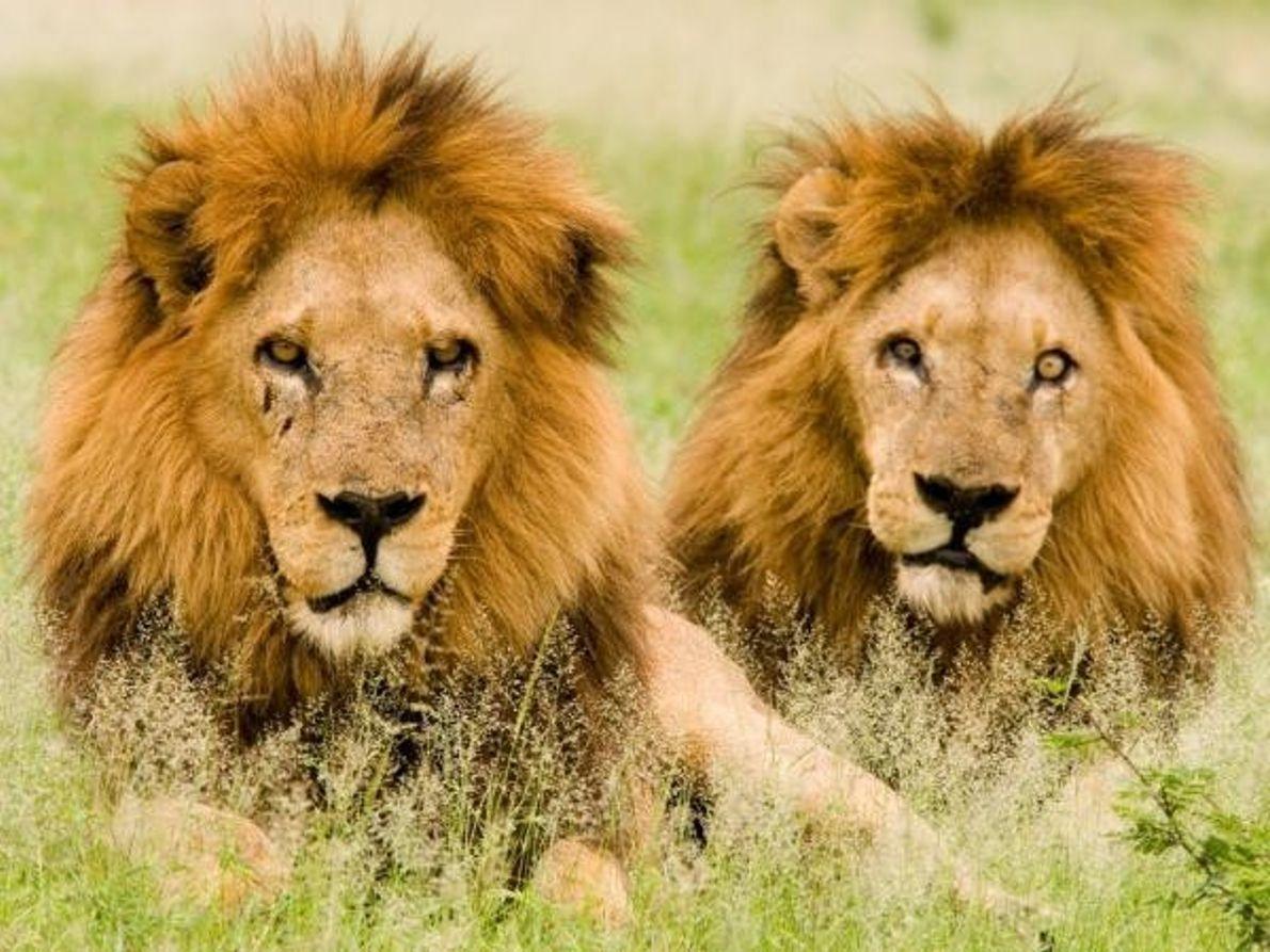 Leones macho, Botswana