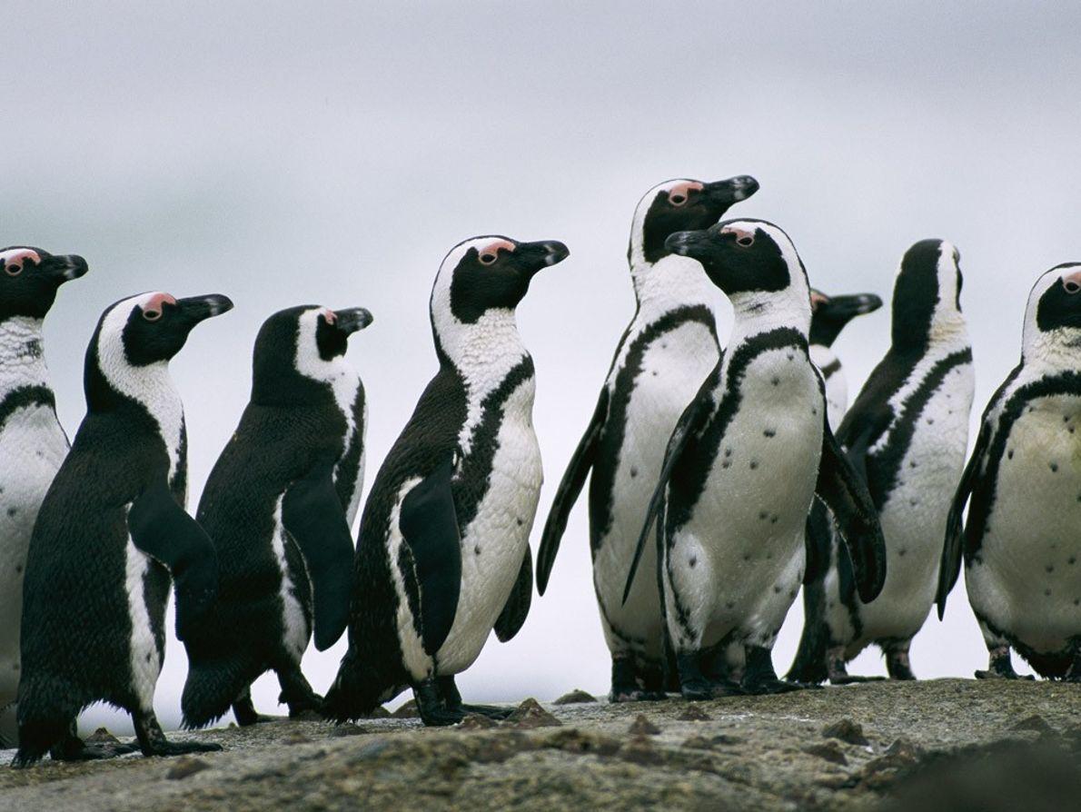 Pingüinos de El Cabo