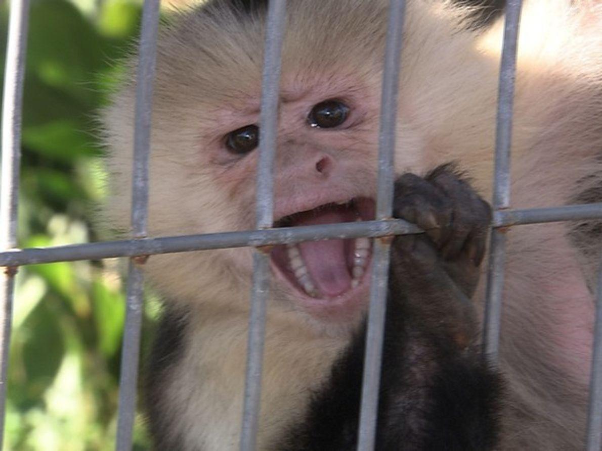 Lisa cuida de esta mona capuchina de 13 años de edad.