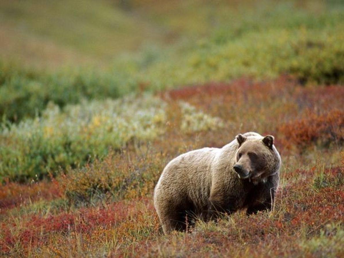 Oso pardo, Alaska