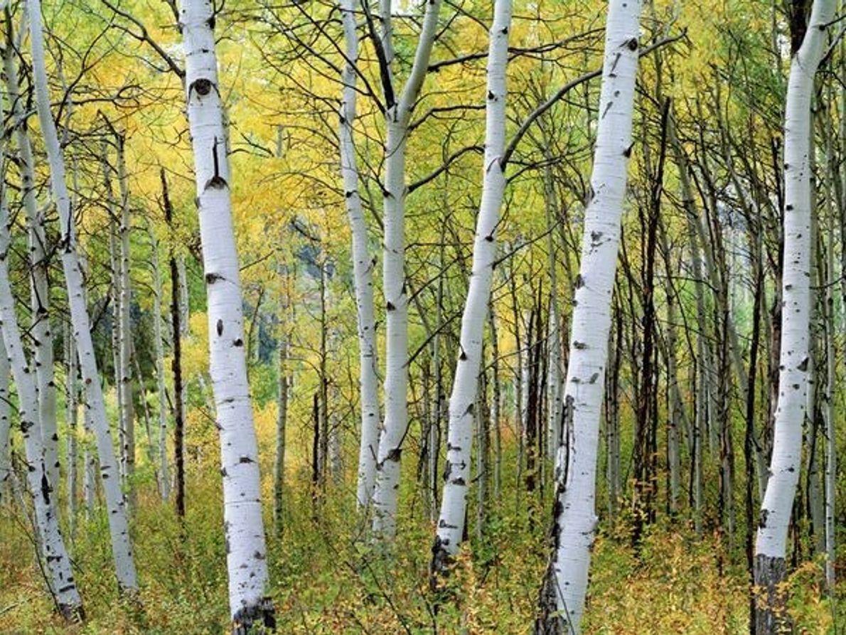 Árboles de Aspen, Colorado