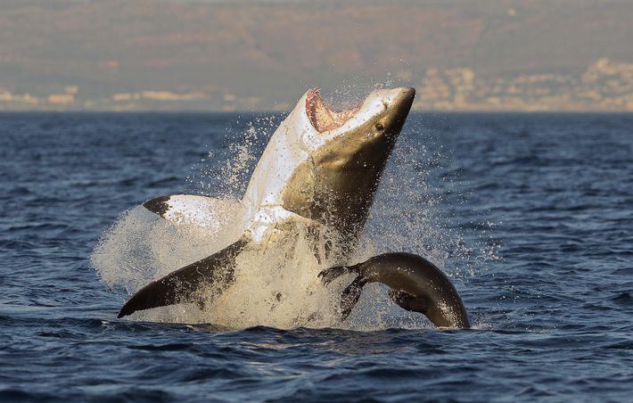 Un tiburón blanco ataca a una foca
