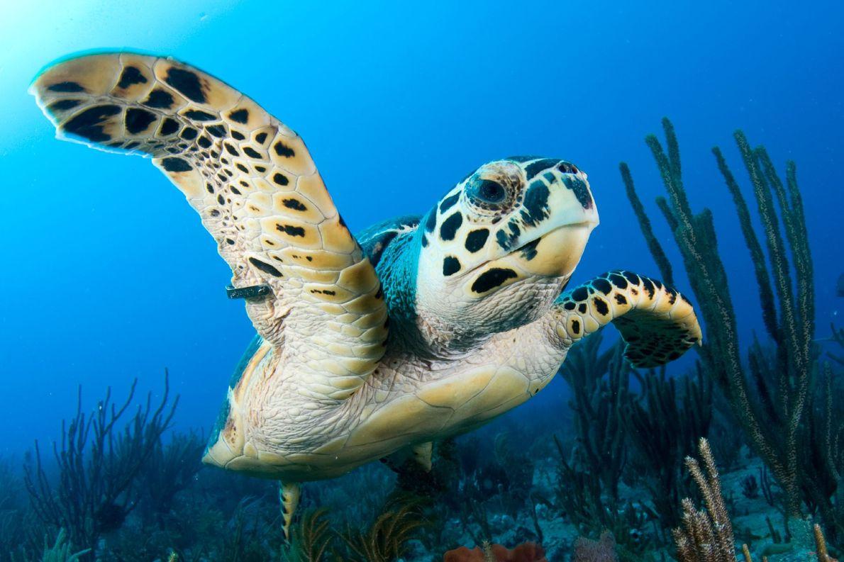 Una tortuga carey