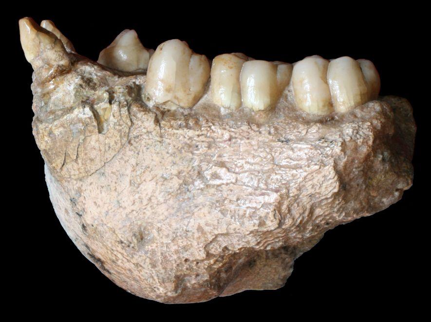 Mandíbula de un Gigantopithecus blacki.