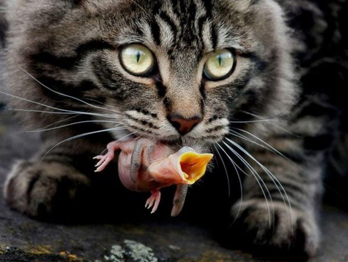 "Vida Silvestre Urbana: ""Gato atigrado con cría de pájaro"""