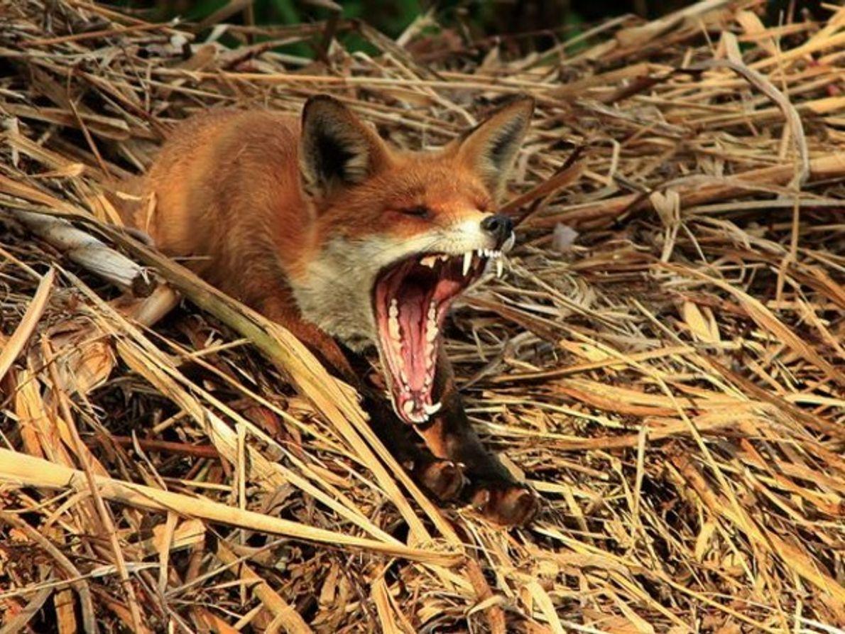 "Jóvenes fotógrafos: ""Bostezo de un zorro"""