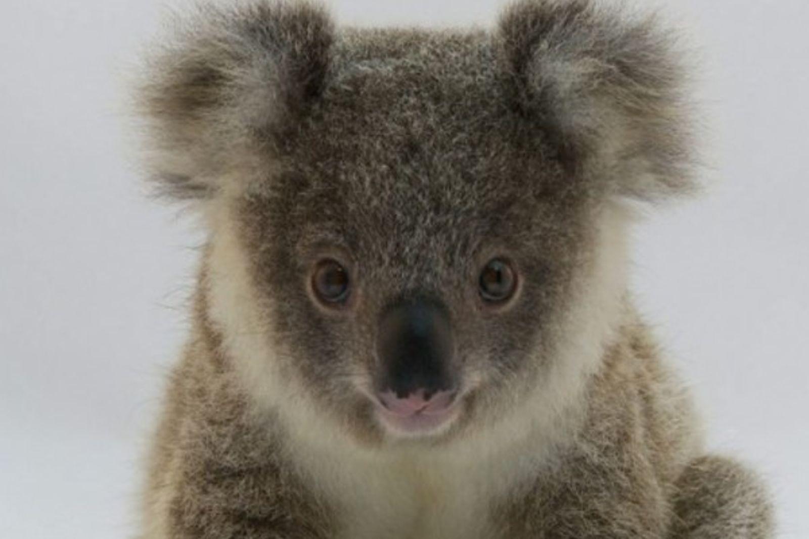 El koala, ¿en peligro de extinción?