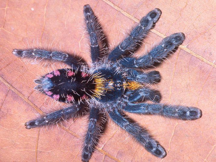 Imagen de una tarántula arborícola