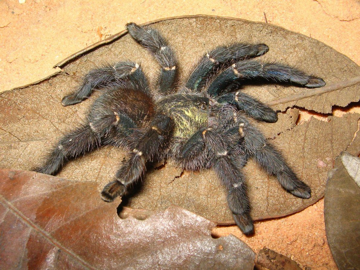 Imagen de una tarántula trepadora