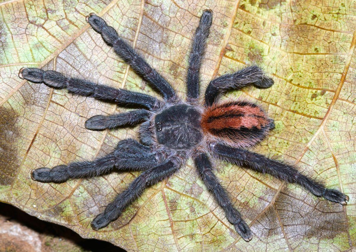Imagen de una tarántula