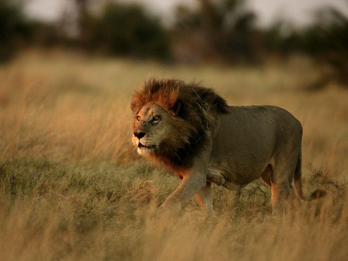 León (Botsuana)