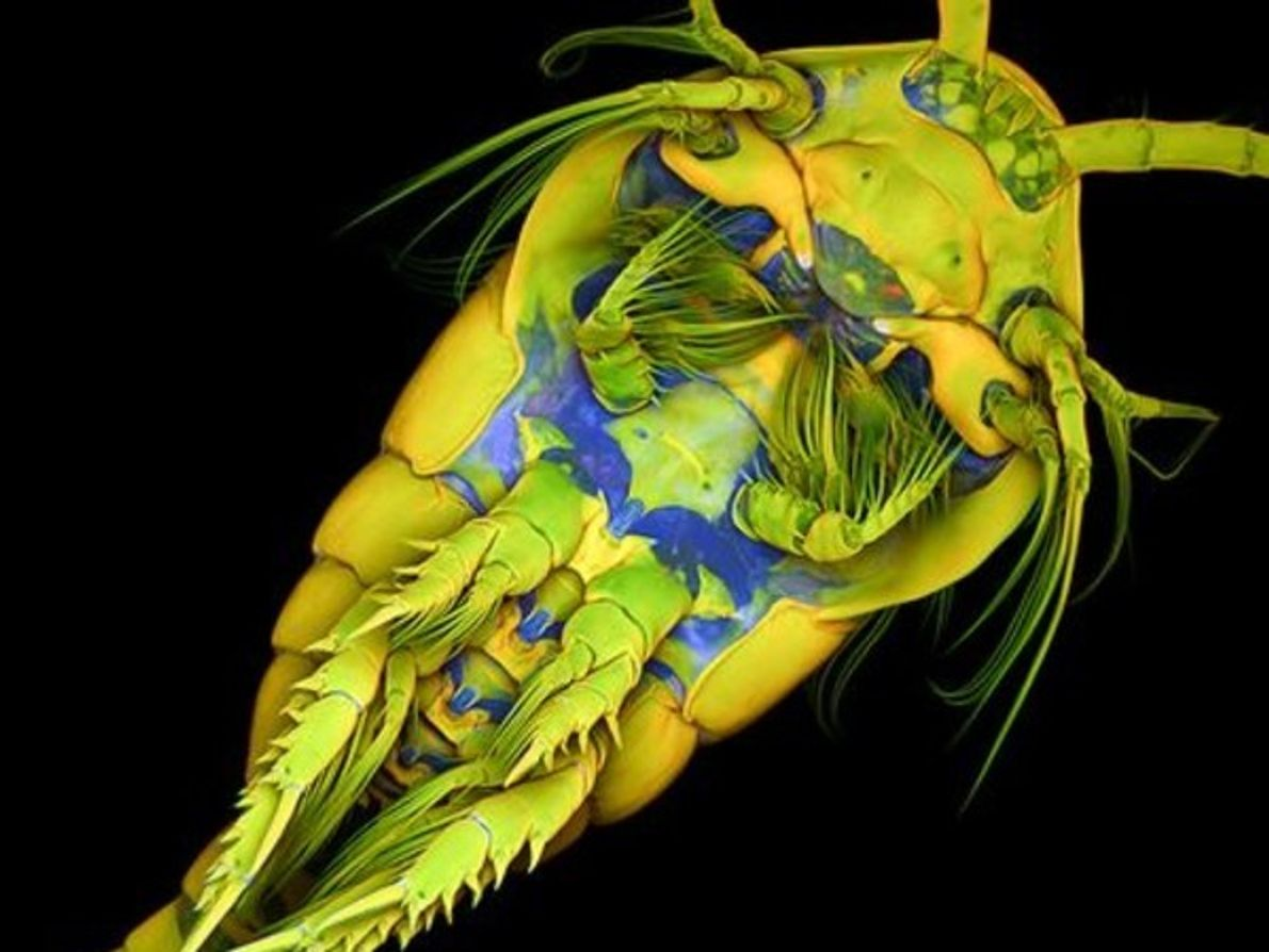 Copépodos marinos