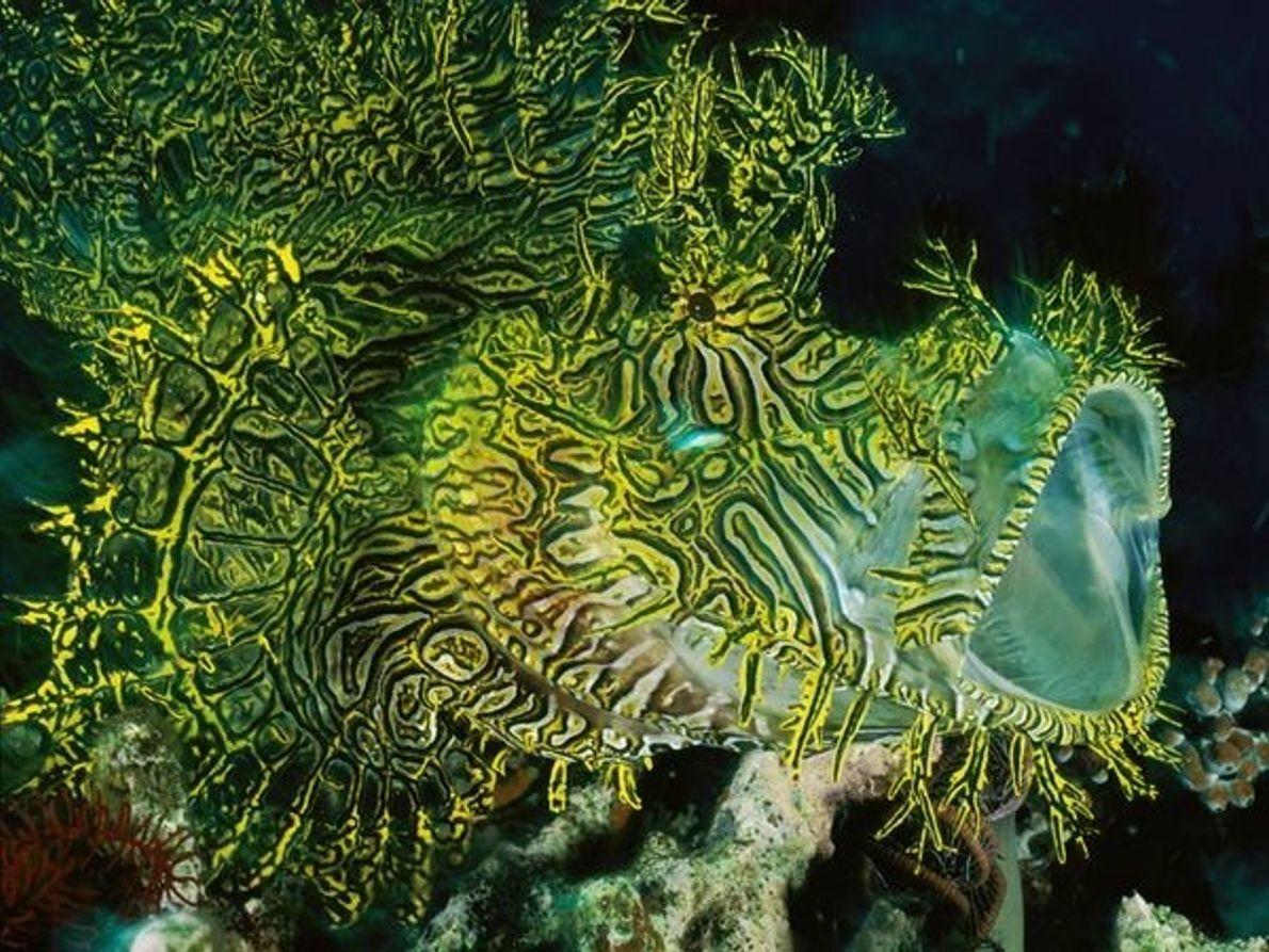 Pez escorpión, Papua Nueva Guinea
