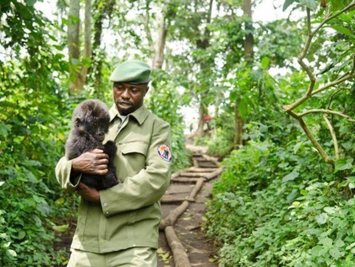 Rescatado un bebé gorila