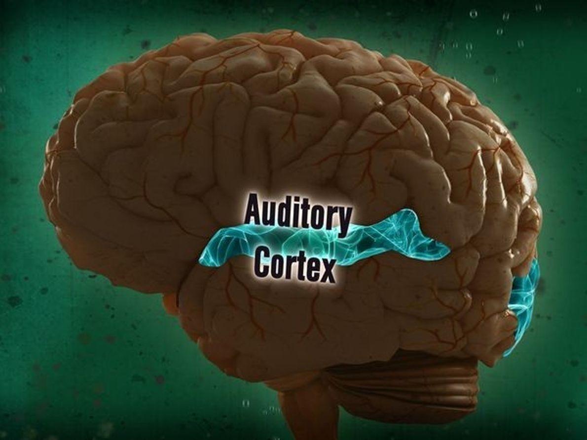 La corteza auditiva