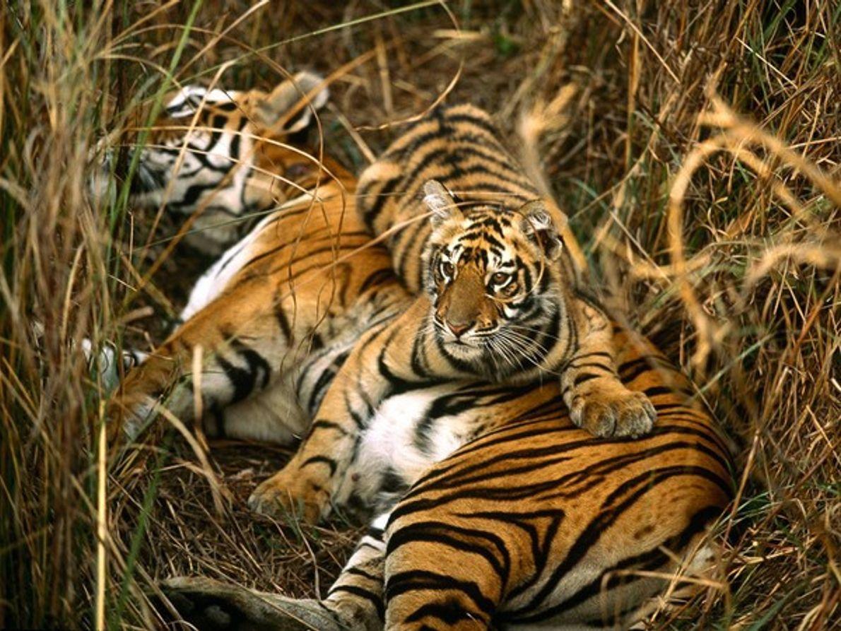 Tigre de Bengala y cachorro