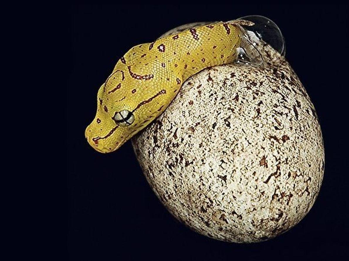 Serpiente saliendo del huevo