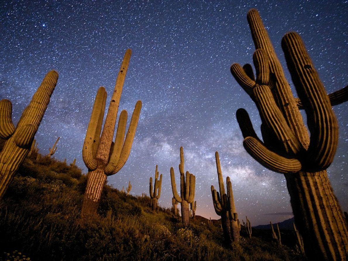 Cactus Saguaro, Arizona