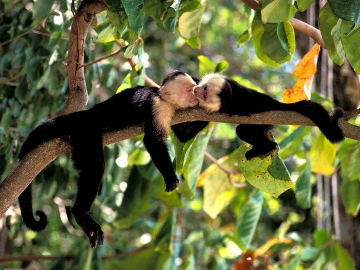 Monos capuchinos de Costa Rica