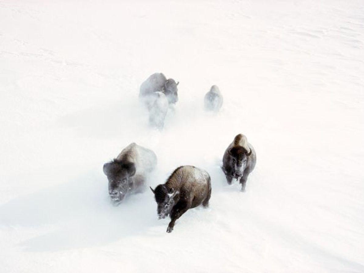 Búfalos, Parque Nacional de Yellowstone